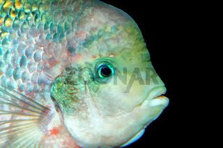 Portrait of cichlid fish