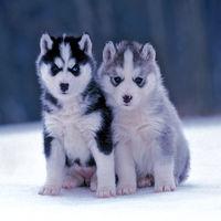 Zwei Sibirische Husky stehen zusammen im Schnee