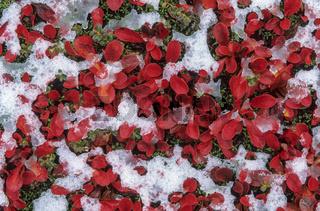 Alpen-Baerentraube ist arktisch-alpin auf der Nordhalbkugel verbreitet / Alpine Bearberry flowers in early summer - (Mountain Bearberry) / Arctostaphylos alpinus