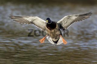 Stockente (Anas platyrhynchos) fliegend, Erpel, Hamburg, Deutschland, Europa