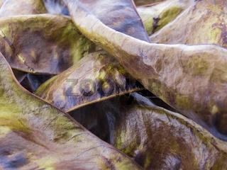 Früchte der Gleditschie - Gleditsia Triacanthos