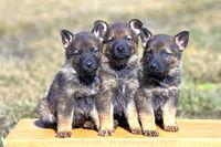 Drei Schaeferhunde Welpen auf Holzbank