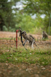 Vervet monkey in the Kruger National Park, South Africa.
