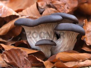 Austernseitlinge - Pleurotus ostreatus