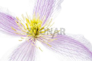 Blüte einer Clematis, Makroaufnahme