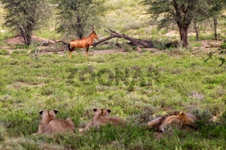 lions looking at a hartebeest at kgalagadi transfrontier park south africa