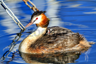 Great crested grebe with his baby