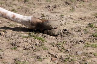 Lama-Fuß