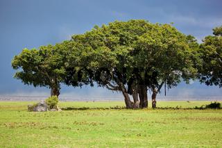 Tree on savannah. Ngorongoro, Tanzania, Africa