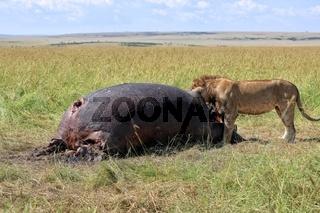 lion eating an hippo at the masai mara national park kenya
