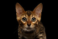 Closeup Bengal Kitty Looking in Camera on Black