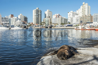 Seal lying in the sun in front of the yacht club in Punta del Este harbor, Uruguay