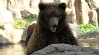 Laughing brown bear