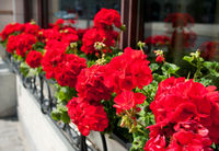 Bunches of vibrant red Pelargonium flowering