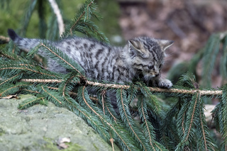 Wildkatze, Common Wild Cat