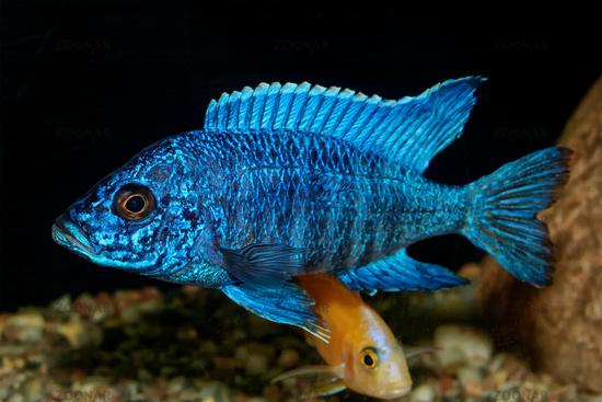 Cichlid fish from genus Aulonocara