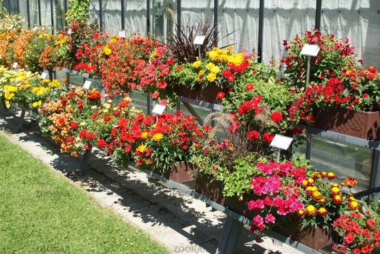 Foto Balkonblumen Rot Red Flowers Bild 8092406
