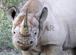 Spitzmaulnashorn, Etosha, Namibia; black rhinoceros, Diceros bicornis