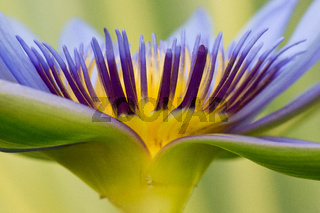 Purple tropical waterlily up close