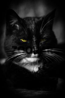 Katze Kater m Augen sw