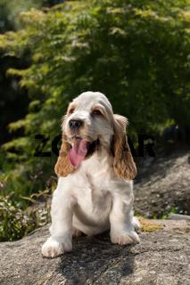 Looking English Cocker Spaniel puppy