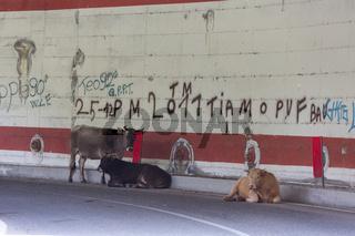 Kuh auf Strasse