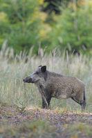 Wildschwein, Deutschland