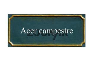 schild acer campestre, feldahorn