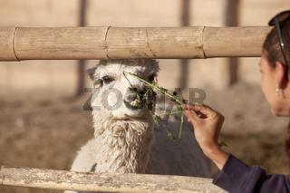 Young woman feeding lama in safari park.