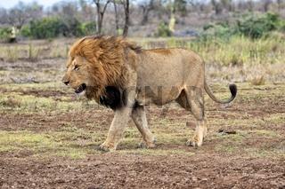 the king lion at kruger