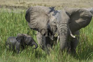 Afrikanische Elefant, Loxodonta africana, Jungtier mit Mutter,