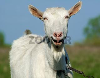 Goat smiling