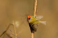 Sommergoldhähnchen (Regulus ignicapilla)