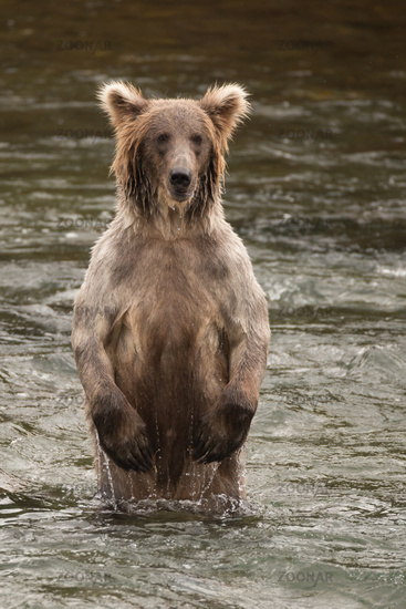 Bear standing on hind legs in river