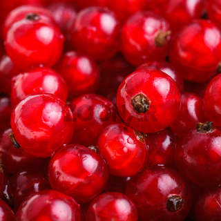 The Red currant