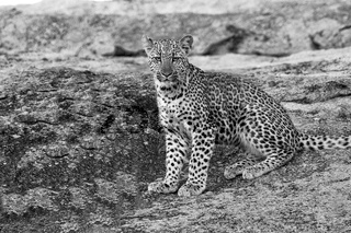 young leopard in the kruger national park south africa