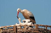 Weissstorch füttert Jungvogel