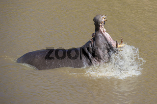 Flusspferd,Hippo,Hippopotamus,Hippopotamus amphibius, in the Mara River,open mouth