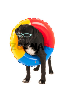 Dog with swimming toy