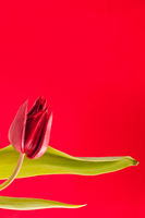 single red tulip head and leaves on red