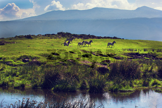 Zebras on green grassy hill. Ngorongoro, Tanzania, Africa