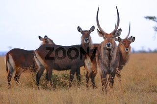 herd of waterbucks at masai mara national park