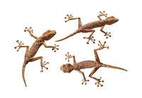 Three geckos cutout