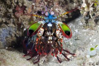 Fangschrecken-Schmetterkrebs, Indonesien