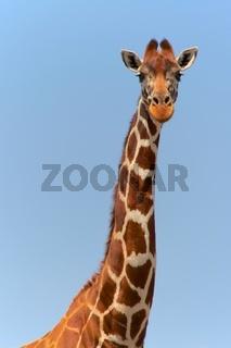 portrait of a masai girafe at a samburu kenya