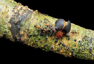 Arbeiter- Ameisen (Pheidole sp.) greifen einen Stäublingskäfer an