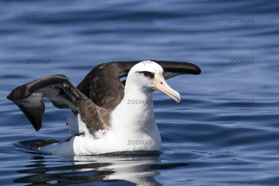 Laysan albatross sitting opened wings on the water of the Ocean