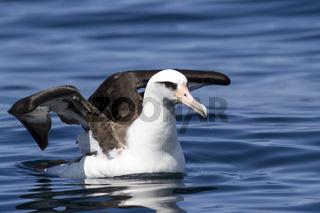 Laysan albatross sitting opened wings on the water of the Ocean