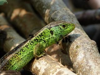 Reptile, sand lizard in the Sun
