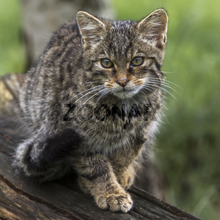 Scottish Wildcat (felis silvestris grampia) UK